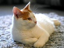 Ginger and white cat Royalty Free Stock Image