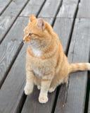 Ginger-white cat Royalty Free Stock Image