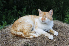 Ginger white cat sleeping on pile of hay. This ginger-white cat is sleeping on a pile of hay in nature, near some dark green vegetation Royalty Free Stock Photos