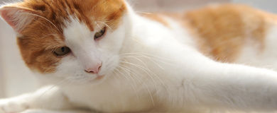 Ginger and white cat Stock Photos