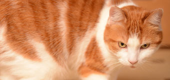 Ginger and white cat Stock Photography