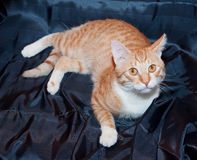Ginger and white cat with yellow eyes lying on black Royalty Free Stock Photography