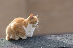 Ginger and white domestic pet cat lying on a roof top Royalty Free Stock Photo