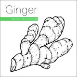 Ginger on white. Hand drawn sketch ginger root plant vector illustration isolated on white background. Spicy herbs. Ginger doodle design cooking ingredient for Stock Photos