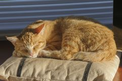 Ginger and White kitten content sleeping on cushion, and sun shining on fur stock images