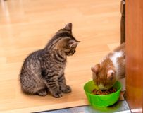 A ginger and white kitten eating a soft canned cat food from a green bowl. Tabby kitten sitting and looking. royalty free stock photo