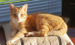 Ginger and White kitten lying in sunshine on cushion, looking at. Camera. Cape Town, South Africa royalty free stock photos
