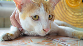 Ginger and White Kitten Royalty Free Stock Photo
