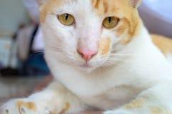 Ginger and White Kitten Stock Photo