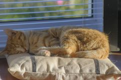 Ginger and White kitten relaxed and sleeping on cushion with paws in fron. T, with copy space stock image