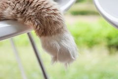Main Coon Cat Paw Close-up. Ginger and White Main Coon cat paw close-up. Selective focus. Subject in focus stock image