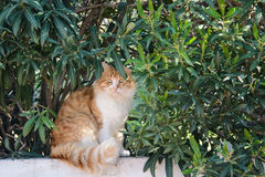 Ginger and white tabby cat among the bushes Royalty Free Stock Photo