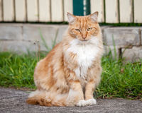 Ginger and White Tabby Cat Sitting on the Sidewalk Stock Images