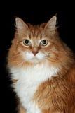 Gingercat Стоковые Изображения RF