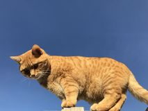 Gingercat. Big gingercat outside Royalty Free Stock Photos