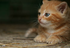Gingery kitten Royalty Free Stock Image