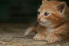 Gingery kitten Royalty Free Stock Image