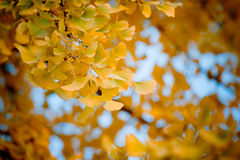 Gingkgo leaf. Beautiful yellow gingkgo leafs shining in the sunlight Stock Photo