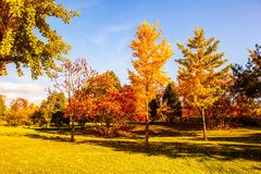 Gingkgo trees-Autumn scene in the Northern China Royalty Free Stock Images