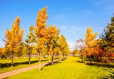 Gingkgo trees-Autumn scene in the Northern China Stock Photos