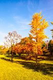 Gingkgo trees-Autumn scene in the Northern China Stock Photography