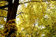 Gingko Image stock