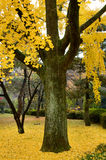 Gingko Royalty Free Stock Images