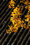 Gingko amarelo Foto de Stock