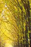 Gingko in autumn Stock Photos