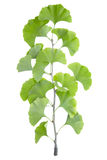 Gingko biloba. Gingko branch isolated on white, clipping path  included Stock Photo