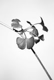 Gingko biloba Stock Photography