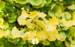Free Gingko Biloba `Mariken` In The Botany In Autumn. Close Up Of Beautiful Yellow And Green Leaves. Stock Photography - 174931502