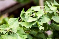 Gingko biloba - tree Royalty Free Stock Photos