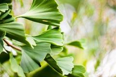 Gingko biloba - tree Royalty Free Stock Photography