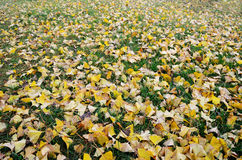 Gingko biloba tree  leaves Stock Images