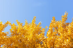 Gingko branches in blue Stock Photos