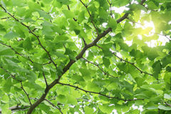Gingko Royalty Free Stock Image