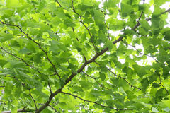 Gingko Royalty Free Stock Photos