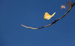 Gingko leaf Stock Photography