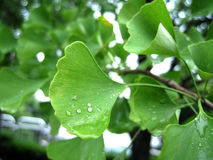 Gingko leaf. A morning view for gingko leaves with water drop Royalty Free Stock Photography