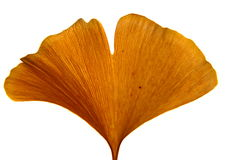 Gingko leaf. Become bright by blocking the sun Royalty Free Stock Photo