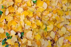 Gingko leafs Stock Photography
