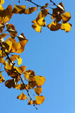 The gingko leaves Royalty Free Stock Photo
