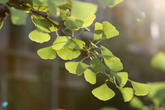 Gingko leaves Royalty Free Stock Photo