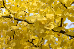 Gingko Leaves Stock Photography