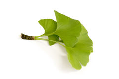 Gingko Leaves royalty free stock images