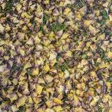 Gingko leaves background Stock Photo