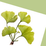 Gingko leaves isolated on white Stock Images