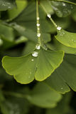 Gingko Leaves. The Gingko Tree is otherwise known as the Maidenhair Tree as the leaves resemble the fern of the same name only bigger. A recent rain has left stock photo