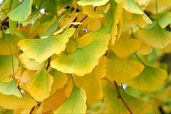 Gingko leaves Royalty Free Stock Photography